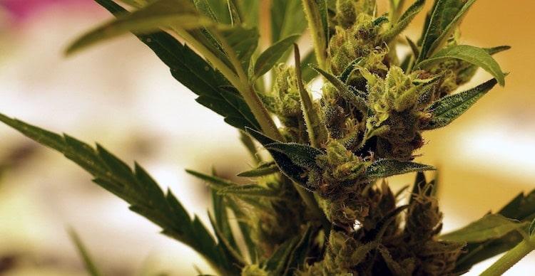 CBD-Cannabissorten sind auch niedrig im THC-gehalt