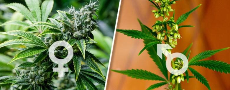 Die weibliche Marihuana-Pflanze unterscheidet sich im Vergleich zur männlichen Pflanze