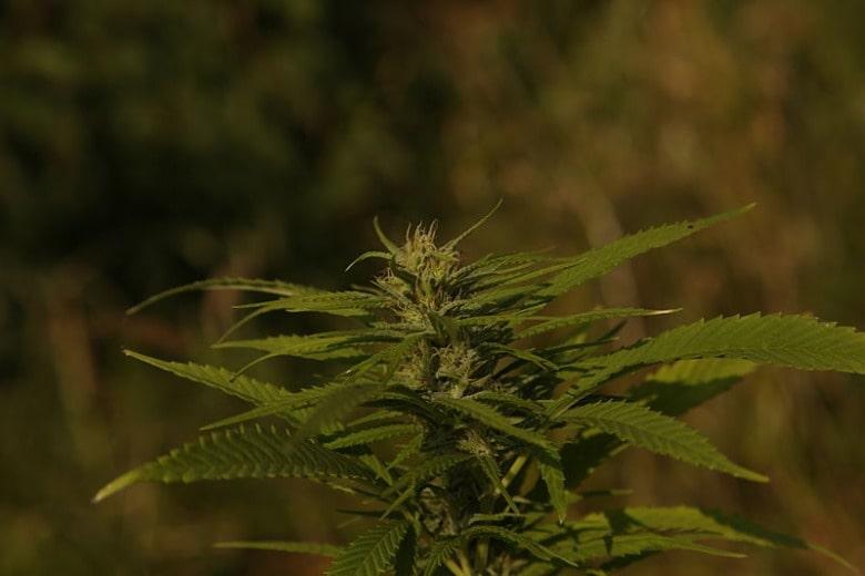 Indica CBD-Hanf zeichnet sich im Gegensatz zu Cannabis Sativa