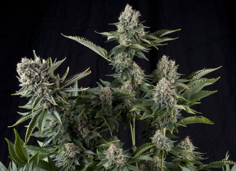 Eigenschaften der White Widow Pflanze