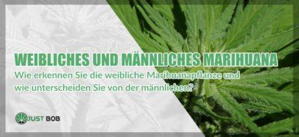 Weibliches und männliches Marihuana: alle Unterschiede