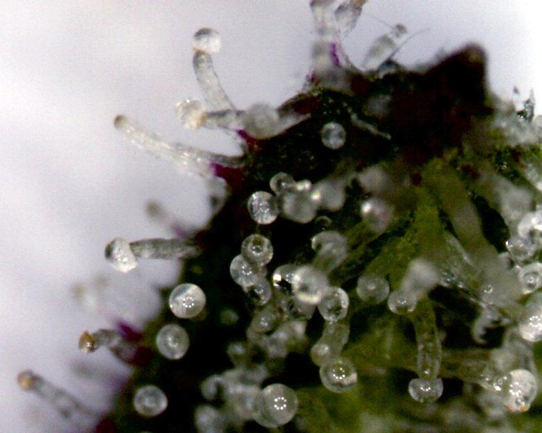 Wie kultivieren wir Legales CBD Cannabis?