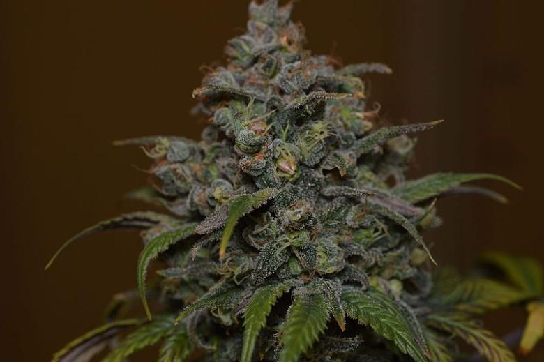 Cheese-Marihuana-cbd
