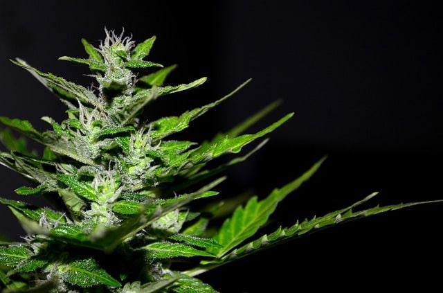 Aber was sind die Nebenwirkungen des Cannabiskonsums?