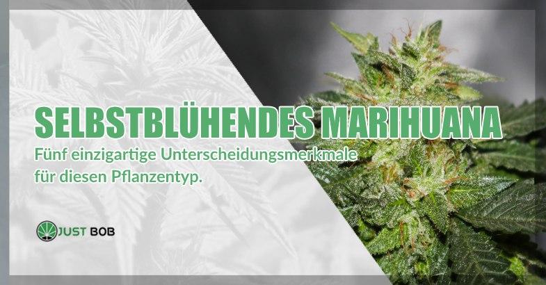 Selbstblühendes Marihuana: Unterscheidungsmerkmale