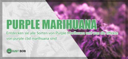 Purple Marihuana: hier sind alle Sorten