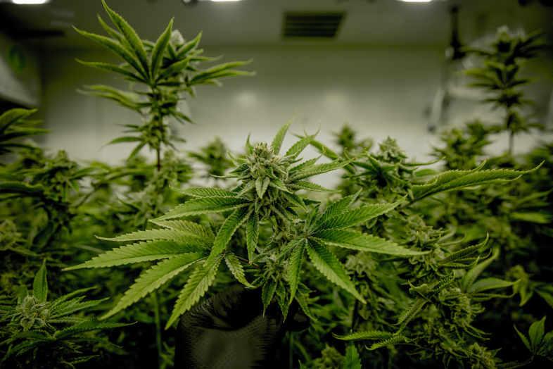 THC-Cannabissucht: Forschung des Nationalen Instituts für Drogenmissbrauch.