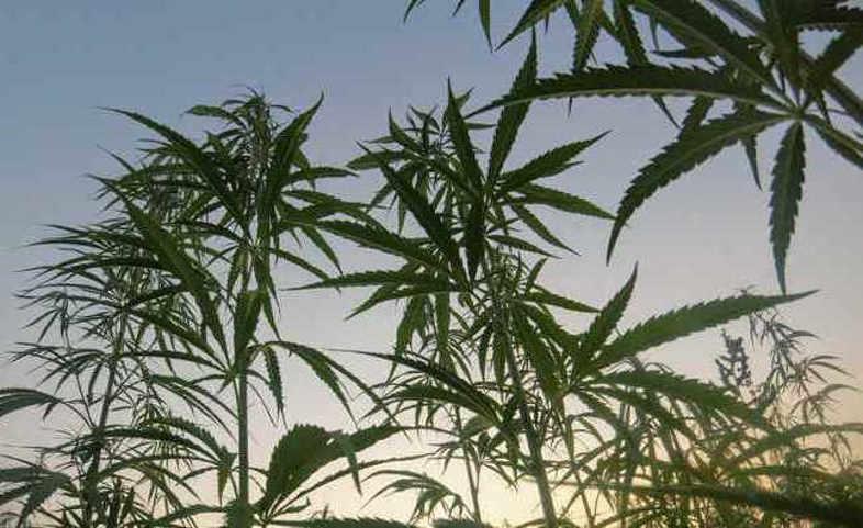 Cannabissucht: wie man da rauskommt