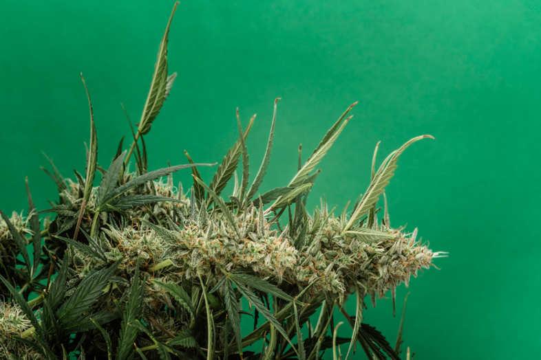 Medizinisches Cannabis und Nebenwirkungen